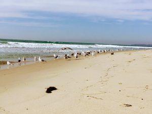 Lower Trestles Beach Seagulls