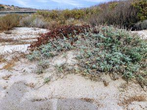 Upper Trestles Coastal Sage Scrub plants