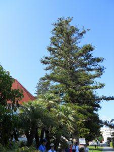 Norfolk Island Pine Hotel del Coronado