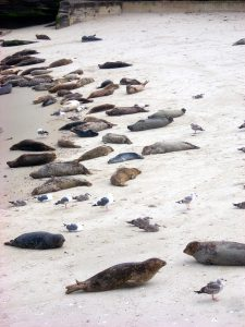 Harbor Seals La Jolla Coast Walk