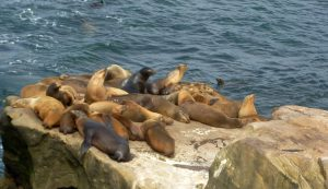 California sea lions Seal Rock La Jolla