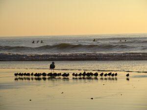 Seabirds Swami's State Beach