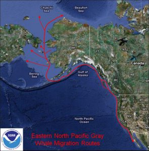 Eastern North Pacific Gray Whale Migration Route