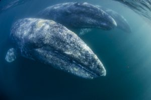 Gray Whales San Diego Whale Watching
