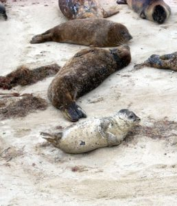 Baby Harbor Seals Best Beaches of La Jolla