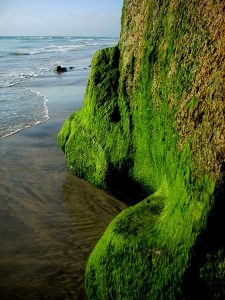 Boneyard Beach Algae Cliff