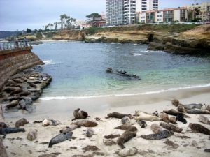 Harbor Seals Childrens Pool lying on sand