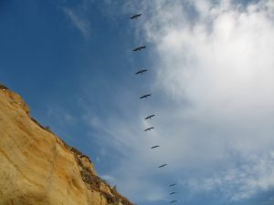 D Street Beach Pelicans over bluffs