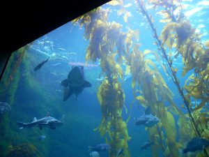 Giant Kelp Forest Tank Birch Aquarium