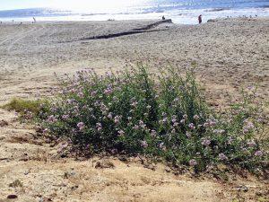 Wild Radish Robert Frazee State Beach