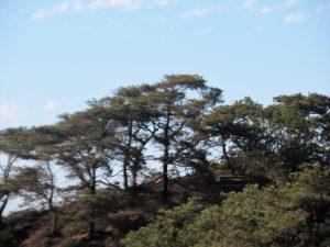 Torrey Pine Tree San Diego Lagoons