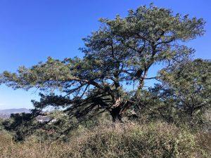 Torrey Pine Tree Torrey Pine State Natural Reserve
