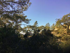 Grove Torrey Pine Trees Natural Reserve