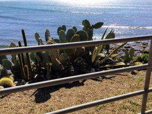 Prickly pear cacti linda way beach access
