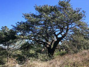 Torrey Pine Tree Torrey Pines State Natural Reserve