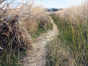 Dirt trail through Cattails
