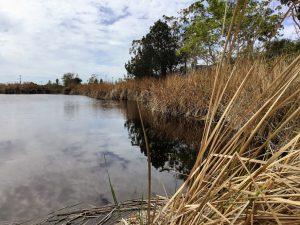 Buena Vista Lagoon Torrey Pine tree Cattails