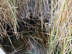 Compact Cattails in water