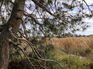 Torrey Pine Tree Cattails Buena VIsta Lagoon