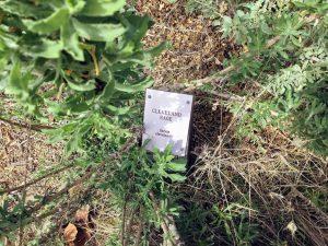Cleveland Sage Buena Vista Lagoon Native Garden