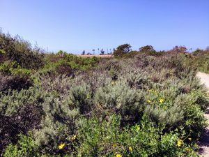 Coastal Sage Scrub Plants