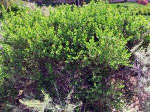 California Sagebrush Plant