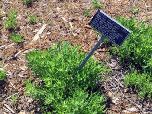 Carmel Mountain Lilac Native Garden