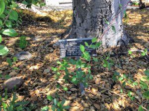 Coast Live Oak Information sign
