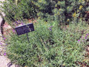 Foothill penstemon