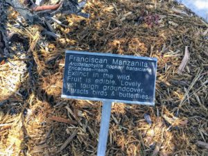 Franciscan manzanita Native Garden Discovery Center