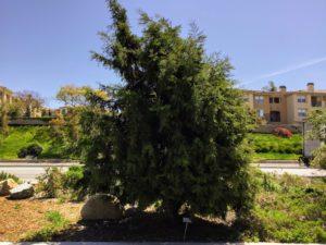 Gowen Cypress Plant Native Garden