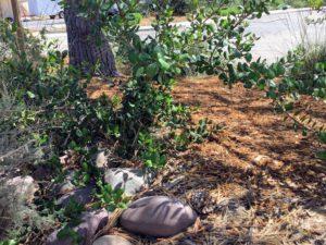 Inner Monterey Manzanita Plant Native Garden