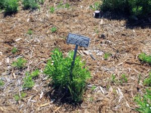 Narrow-leaf Milkweed Native Garden