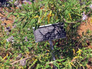 Prostrate Black Sage Native Garden
