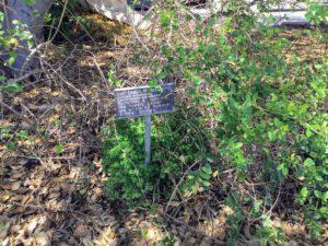 San Diego Honeysuckle Native Gardens