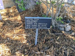 Torrey Pine Tree information sign