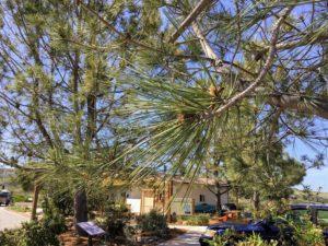 Close-up of Torrey Pine needles
