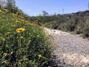 Bush Sunflower on trail