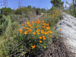 California Poppy Agua Hedionda Lagoon Discovery Center Trail