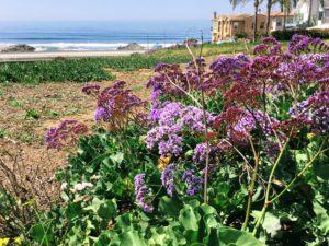 Algerian Sea Lavender Agua Hedionda Lagoon