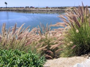 Fountain Grass Agua Hedionda Lagoon