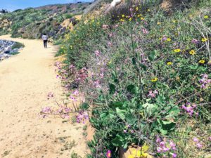 Wild Radish and Bush Sunflower dirt trail