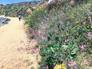 Wild Radish and Bush Sunflower dirt trail