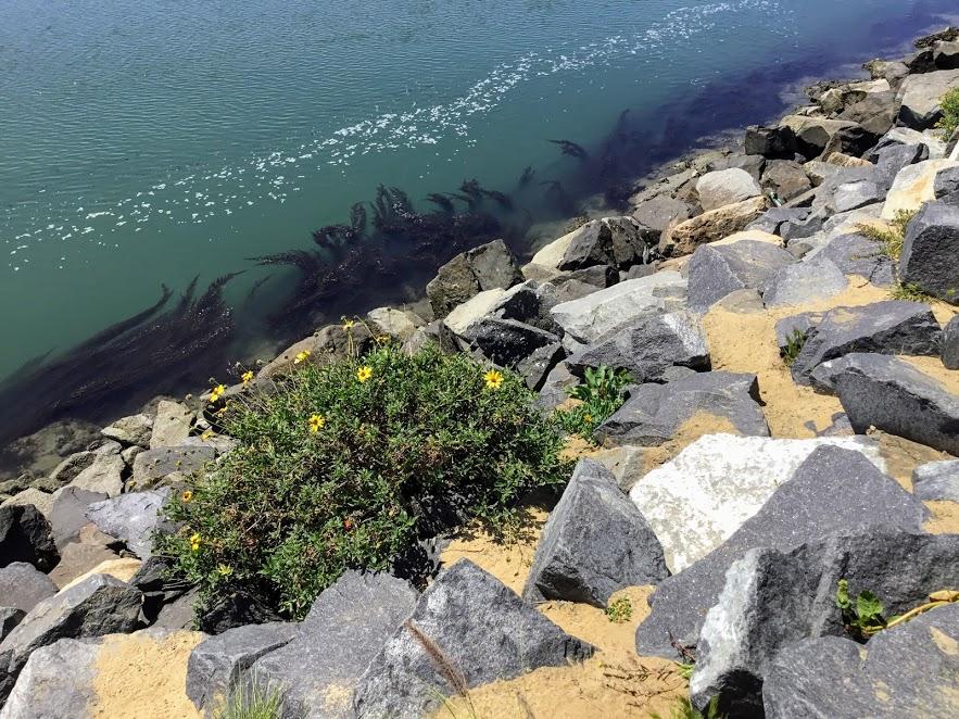 seaweed edge Agua Hedionda lagoon
