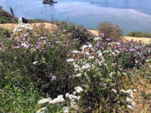 Agua Hedionda Lagoon Bluff flowers