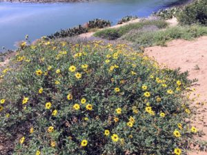 Bush Sunflower Agua Hedionda Lagoon