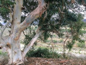 Eucalyptus Tree Panhe Nature Trail
