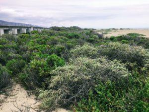 Trestles Beach Sand Dunes Coastal Sage Scrub