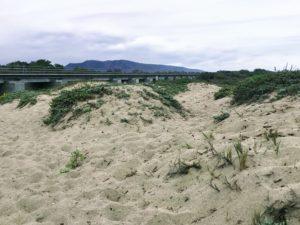 Trestles Dunes salt grass ice plant