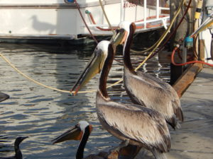 Brown Pelicans San Diego Harbor